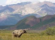 A blonde grizzly in Alaska's Denali National Park.