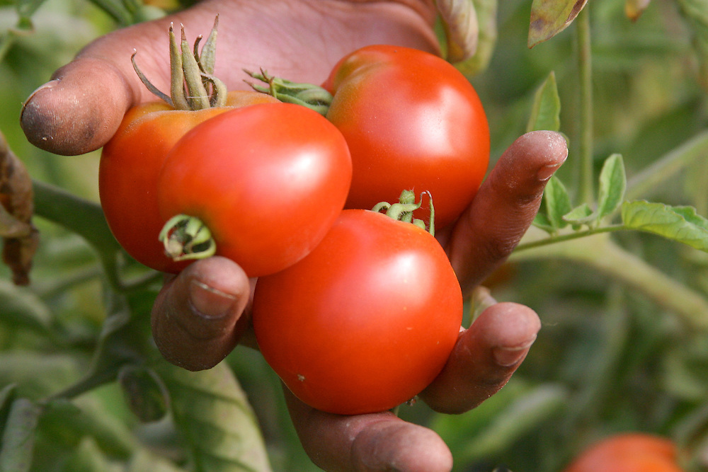 North America, United States, Washington, Seattle, hand with freshly harvested tomatoes, in garden