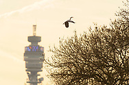 Grey heron (Ardea cinerea) Regent's Park, London. Heron carrying nesting material with BT Tower in background.