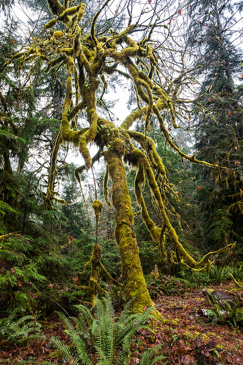 A moss covered big leaf maple tree, Staircase Rapids area of Olympic National Park, Washington, USA.