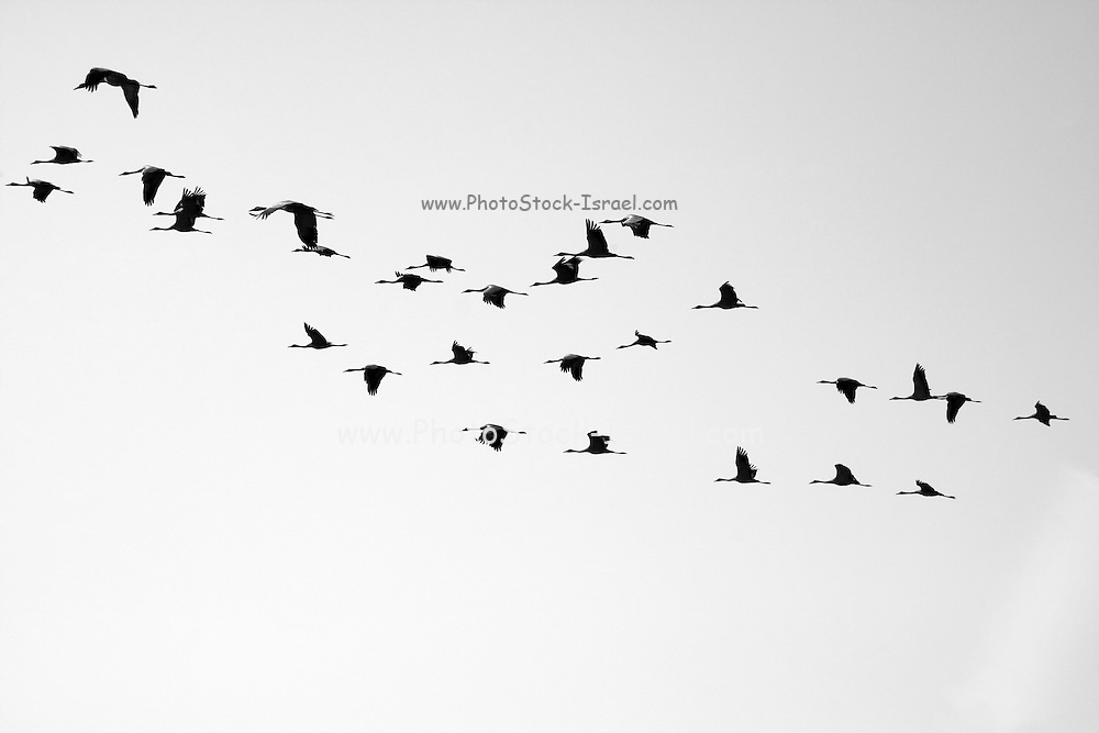 Silhouette of a flock of Grey Cranes (Grus grus), Israel, Hula Valley