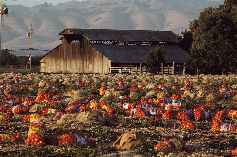 Onions - near Gilroy, Central Valley, California. USA.