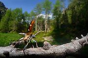 Two-banded Longhorn Beetle (Rhagium bifasciatum). High Tauern National Park, East Tyrol, Austria. | Zangenbock (Rhagium bifasciatum), Nationalpark Hohe Tauern, Osttirol, Österreich.