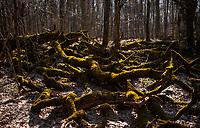 03.2015 Puszcza Bialowieska N/z porosniete mchem korzenie drzew fot Michal Kosc / AGENCJA WSCHOD