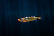 Carmine Shiner<br /> <br /> Isaac Szabo/Engbretson Underwater Photo