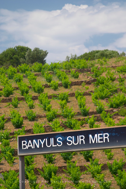 Goblet pruned vines in the vineyard. By the train station. Banyuls sur Mer, Roussillon, France