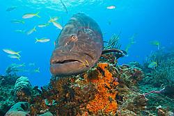 Black Grouper, Mycteroperca bonaci, West End, Grand Bahamas, Caribbean, Atlantic Ocean