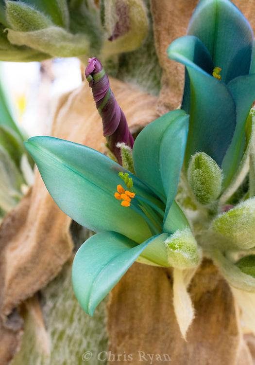 Blue-green lilies at UCSC's arboretum