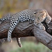 Leopard (Panthera pardus) resting on a tree branch. Samburu National Reserve, Kenya, Africa