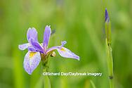63899-05304 Blue Flag Iris (Iris versicolor) in wetland, Marion Co., IL