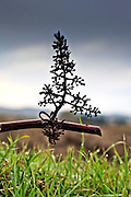 twig of harvested grapevine