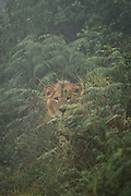 Nature photograph of a single young male lion (Panthera leo) hidden among the bushes and looking at the camera during rain, Tarangire National Park, Tanzania