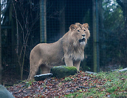 Edinburgh Zoo's very own 'king of the beasts' - Asiatic lion juvenile Jayendra - celebrated his 2nd birthday in style..©Michael Schofield.