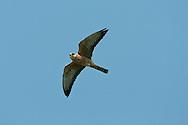 Red-footed Falcon, Female - Falco vespertinus
