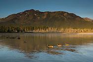 Canada Geese Branta canadensis, swim in calm water below mountains, Kiva Beach, south shore, Lake Tahoe, California
