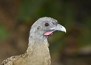 Rufous-vented Chachalaca - Ortalis ruficauda