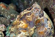 Common Reef Octopus (Octopus cyanea) - Indonesia