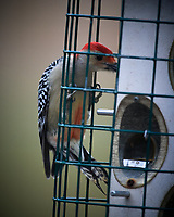 Red-breasted Woodpecker. Image taken with a Nikon D5 camera and 600 mm f/4 VR telephoto lens (ISO 1600, 600 mm, f/4, 1/400 sec).
