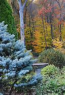 Picea pungens glauca, Boxwood