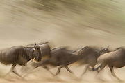 Wildebeest on the run during migration, Serengeti National Park, Tanzania; population of 1.5 million may be decimated by proposed highway and railroad.