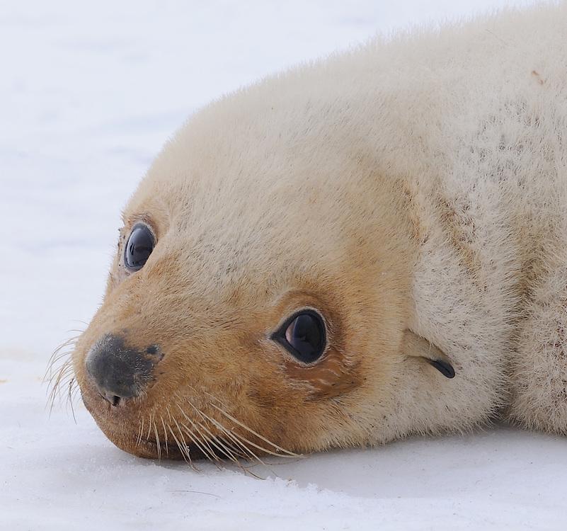 A young leucistic  Antarctic fur seal (Arctocephalus gazella) on the beach. Shingle Cove, Coronation Island, South Orkney Islands, Antarctica. 28Feb16