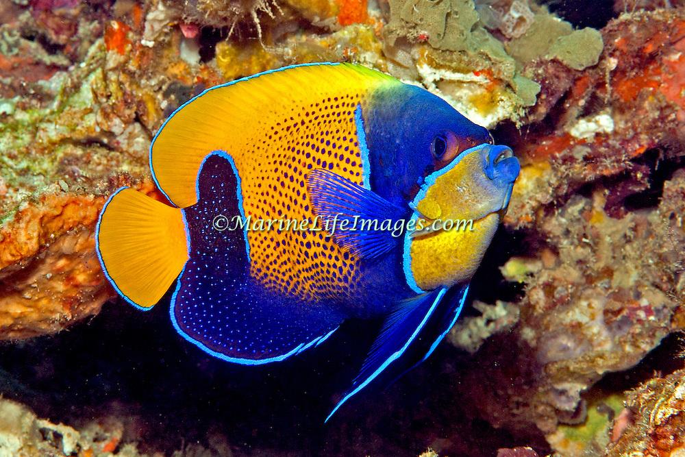 Blue Girdled Angelfish inhabit reefs. Picture taken Lembeh Straits, Sulawesi, Indonesia