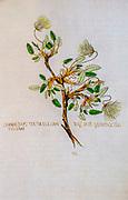 Hand drawn ancient Botanical illustration of a Dryas octopetala (mountain aven) flower, published c 1550. AKA eightpetal mountain-avens, white dryas, and white dryad