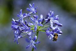 Bee on Agapanthus 'Headbourne Hybrids' seedling