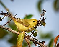 Yellow Warbler (Setophaga petechia). Campos Viejos, Texas. Image taken with a Nikon D4 camera and 600 mm f/4 VR lens