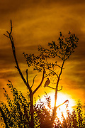 An adult bald eagle (Haliaeetus leucocephalus) watches over Lake Washington as the sun sets behind its perch in a tree in Kirkland, Washington.