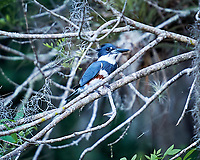 Belted Kingfisher perched on a branch in Big Cypress Swamp. Image taken with a Nikon D3s camera and 70-200 mm f2.8 lens (ISO 1000, 200 mm, f/2.8, 1/500 sec).
