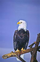 """Bald Eagle (Haliaeetus leucocephalus).  This Bald Eagle shows the nictitating membrane """"third eyelid"""" which is drawn from the front to the back rather than vertically.  It is drawn across the eye for protection when attacking prey."""