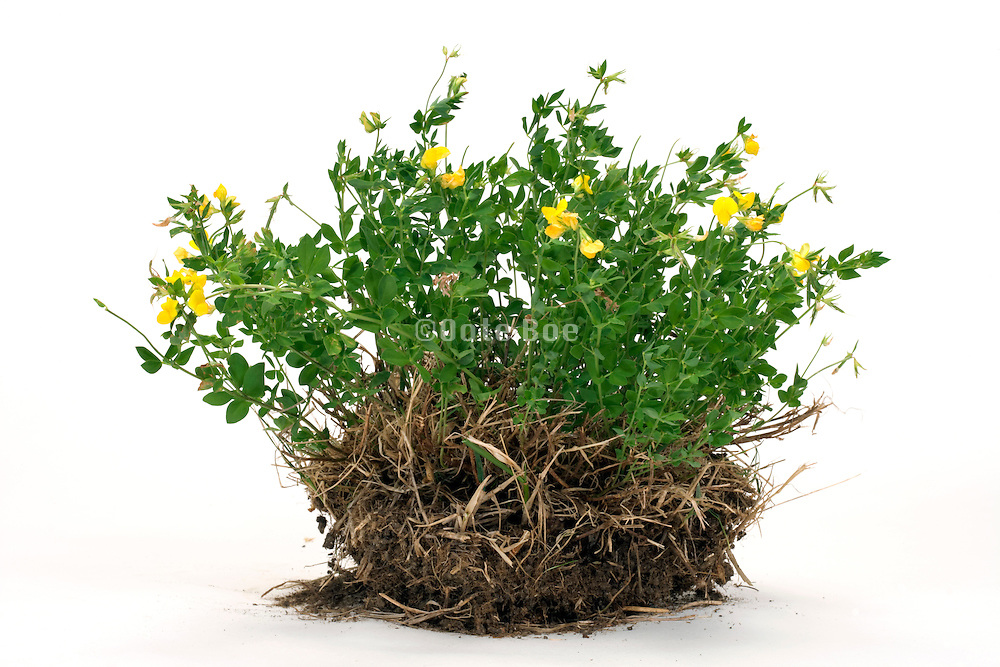 plant with bright yellow flowers