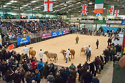 © Licensed to London News Pictures. 25/11/2019. Llanelwedd, Powys, Wales, UK. Cattle events take place on the first day of the Royal Welsh Winter Fair in Powys,  UK. Photo credit: Graham M. Lawrence/LNP