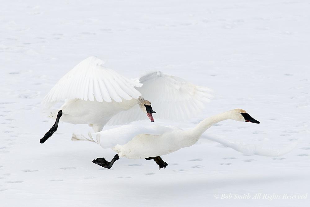 Trumpeter swan males chasing during breeding season