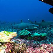 Cocos Island, Dive Spot: Pasara