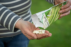 Sowing runner beans. Pouring seeds from a packet into hands ready to sow - Phaseolus coccineus 'White Lady'
