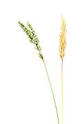 Gewöhnliche Ruchgras (Anthoxanthum odoratum) Den Beinamen odoratus sowie die deutsche Bezeichnung Ruchgras erhielt es wegen seines charakteristischen Cumarin-Duftes. Es wird daher auch in der Schweiz Geruchgras genannt.