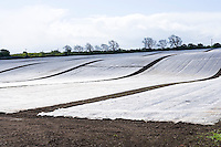 early sown crops insulated against the winter weather with plastic sheets