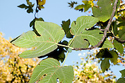 Close up of the fruit and leaves of a fig tree (Ficus carica) Photographed at the Hermon Stream Nature reserve (Banias) Golan Heights Israel