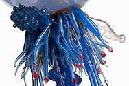DEU, Deutschland: Physalia physalis, Portugisische Galeere oder Seeblase, Staatsqualle, dieses Glasmodell stammt aus dem Werk der naturwissenschaftlichen Glaskünstler Leopold Blaschka (1822-1895) und Sohn Rudolf Blaschka (1857-1939). Zwischen 1863 und 1890 entstanden in der Dresdner Werkstatt Tausende Glasmodelle wirbelloser Meerestiere, die ihren Weg in Museen und Universitäten der ganzen Welt fanden. Diese Nachbildungen verblüffen bis heute, denn sie sind morphologisch fehlerfrei und halten naturwissenschaftlichen Betrachtungen bis ins Detail stand - die perfekte Verschmelzung von Kunst und Naturwissenschaft. Die Blaschkas hatten keine Lehrlinge und es gibt keine weiteren Nachfahren. Vater und Sohn haben das Geheimnis ihrer einzigartigen Technik mit ins Grab genommen, Blaschka-Sammlung; Museum für Naturkunde, Humboldt Universität Berlin | DEU, Germany: Physalia physalis, Portuguese Man o' War or bluebottle, siphonophora, this glass model originated from the work of the scientific glass artists Leopold Blaschka (1822-1895) and his son Rudolf Blaschka (1857-1939). Between 1863 and 1890 thousands of glass models of invertebrates sea animals developed in the workshop in Dresden, which found their way in museums and universities of the whole world. These reproductions amaze until today, because they are morphologically exact and withstand scientific examinations in detail - the perfect fusion of art and natural science. The Blaschkas didn?t have apprentices and it gives no further descendants. Father and son took the secret of their inimitable technology also in the grave, Blaschka-collection, Museum For Natural Science, Humboldt University, Berlin |