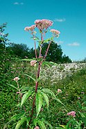 HEMP-AGRIMONY Eupatorium cannabinum (Asteraceae) Height to 1.5m. Tall, upright and downy perennial that grows mainly in damp grassland and marshes, but (perhaps surprisingly) also in scrub on chalk. FLOWERS are dull pinkish lilac; borne in heads, 2-5mm across, comprising 5-6 florets, in rather dense, terminal clusters (Jul-Sep). FRUITS are 1-seeded with pappus hairs. LEAVES are trifoliate and borne in opposite pairs up the stem. STATUS-Widespread and common, except in N.