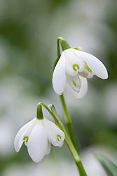 Galanthus nivalis 'Flore Pleno' syn. Galanthus nivalis f. pleniflorus 'Flore Pleno'