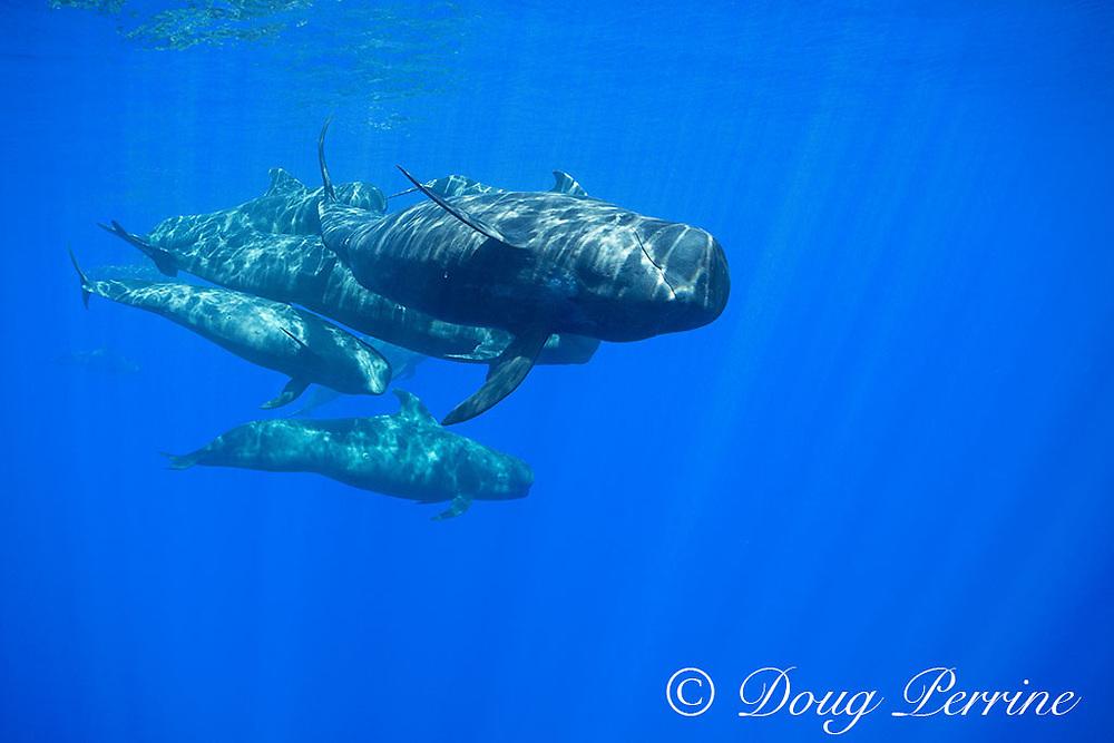 adult and juvenile short-finned pilot whales, Globicephala macrorhynchus, swimming through open ocean, Kona, Hawaii ( the Big Island ), U.S.A. ( Central Pacific Ocean )