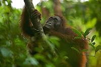 Adult female Bornean Orangutan (Pongo pygmaeus)..(Beth)