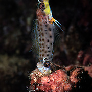 Pictured here is a pair of spotty blennies (Laiphognathus multimaculatus) engaged in spawning. Poking out from the burrow is the female. She has just deposited eggs inside. The male then lowers himself into the burrow to fertilize the eggs. This process repeats several times, after which the female departs abruptly. The male is tasked with caring for the eggs and launching them into the world when they are ready.