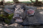 Close up of a water buffalo (Bubalus bubalis) taking a mud bath at Komodo Island, Indonesia