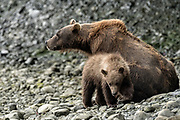 A brown bear sow known as Bearded Lady keeps a watchful eye as her cubs play at the McNeil River State Game Sanctuary on the Kenai Peninsula, Alaska. The remote site is accessed only with a special permit and is the world's largest seasonal population of brown bears in their natural environment.