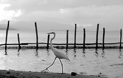 September 3, 2017 - Puerto Piritu, Anzoategui, Venezuela - Different species of birds remain in the poles and fly in their surroundings, during the afternoon in the sector the serca of the lagoon of Puerto Piritu, in the state Anzoategui. Venezuela . Photo: Juan Carlos Hernandez (Credit Image: © Juan Carlos Hernandez via ZUMA Wire)