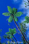 giant tree ferns, Mt. Scenery, Saba Island, Netherlands Antilles ( Eastern Caribbean Sea )